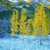 Yellow Aspen, Maroon Bells, CO
