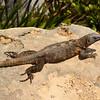 Mexico, Tulum, Iguana
