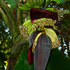 Mexico, Palenque, Banana Tree