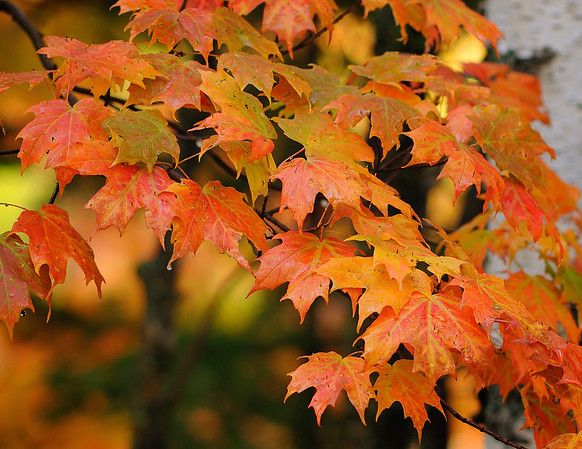Maple Tree, UP
