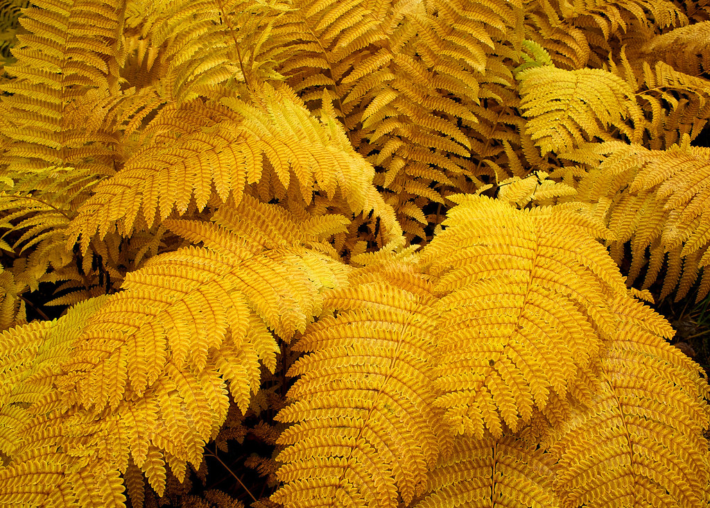 Yellow Fern, Sturgeon Gorge, UP