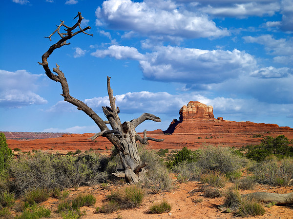 Dragon Tree, Canyonlands, UT