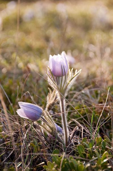 Spring Flowers - Banff
