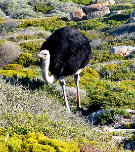 Ostrich near Cape of Good Hope. We saw considerable wildlife close to Capetown.