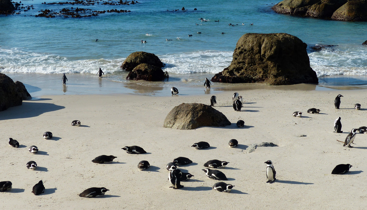 Everyone stops to see the penguins at Boulder Beach.