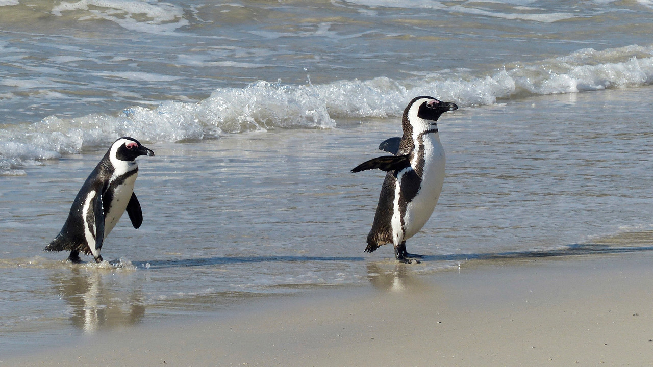 Penguins at Boulder Beach.