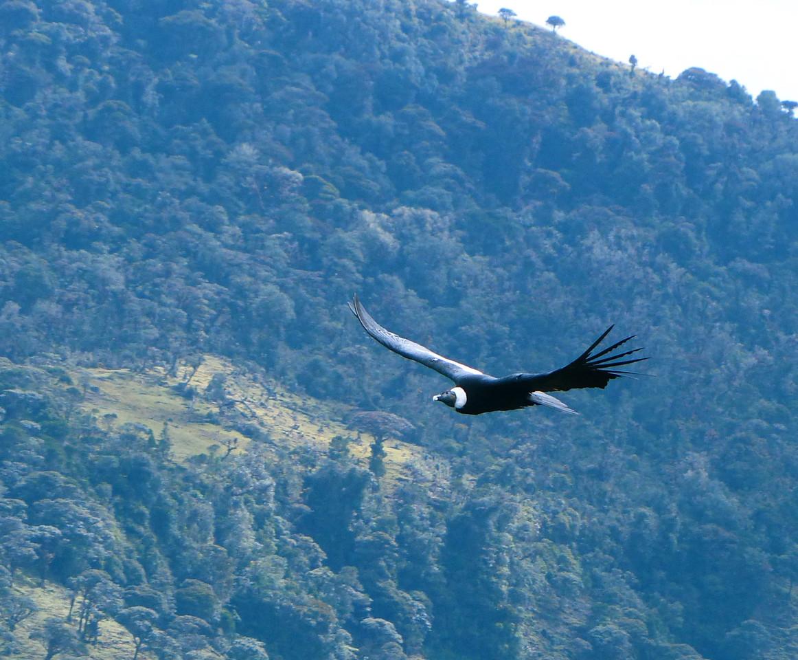 We soon saw a condor.