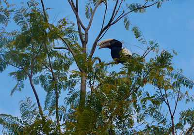 We saw several large hornbills.