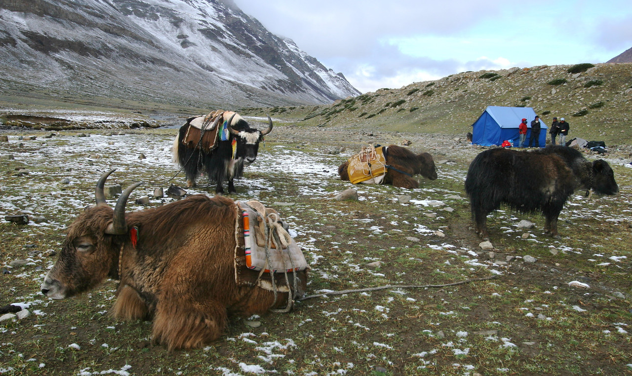 On the 4 days that we spend on the Kora, our gear is carried by these 4 yaks plus 2 porters