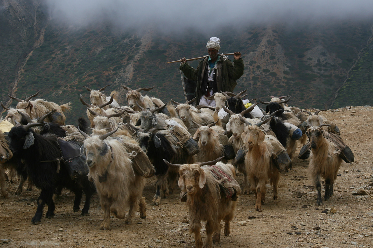 Goats carrying small backpacks are seen everywhere. They carry salt into Tibet and bring back Chinese goods. Goats are easy to manage and they eat vegetation along the way