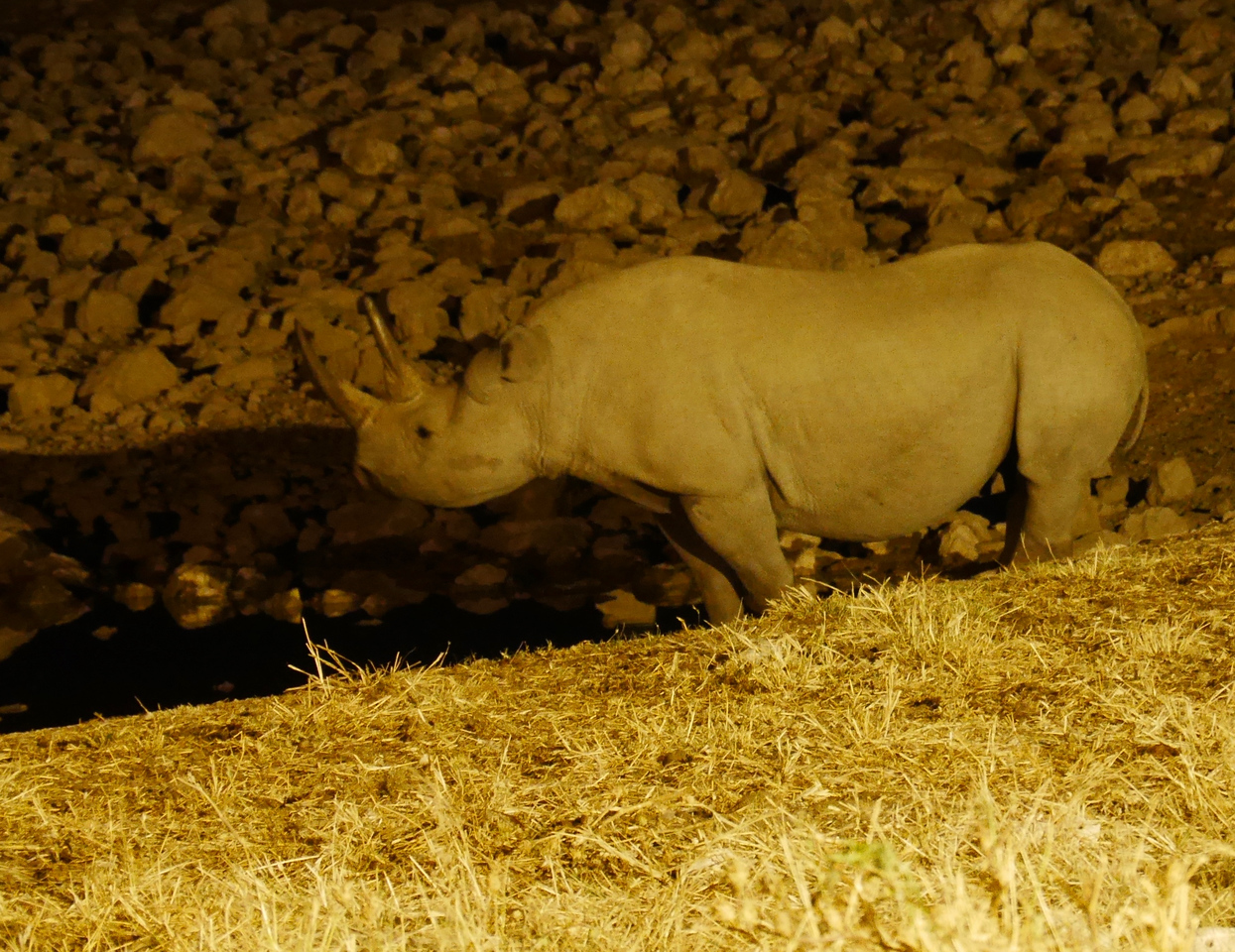 Many of the campgrounds are next to waterholes which are lit at night. We saw this black rhino  at our first camp inside Etosha.