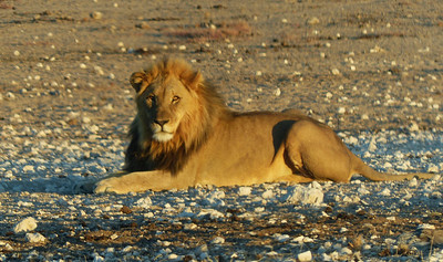 We saw this lion just before sunset. There were 10 vehicles maneuvering  to get photos.