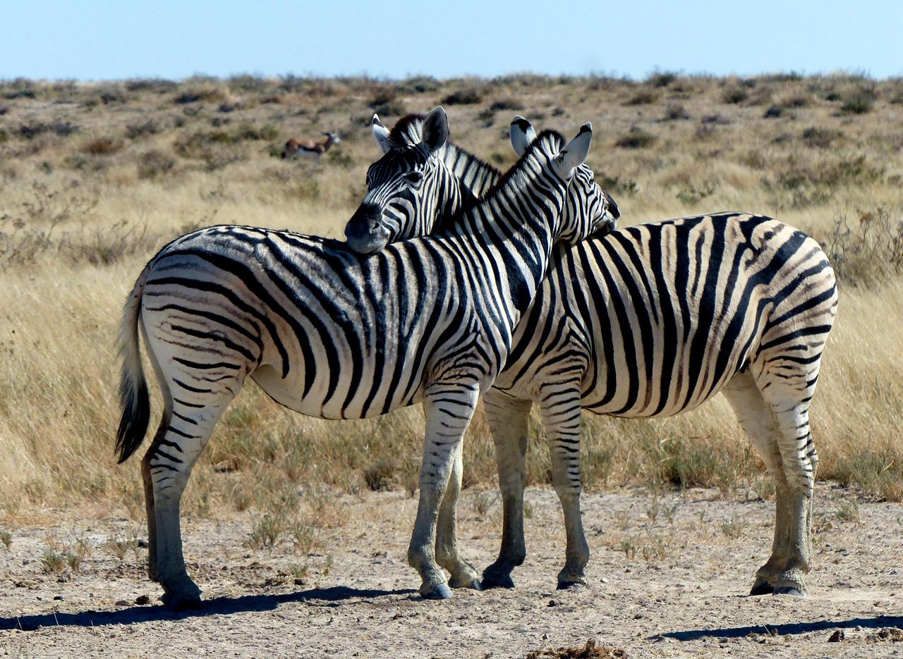 Friendly zebras.