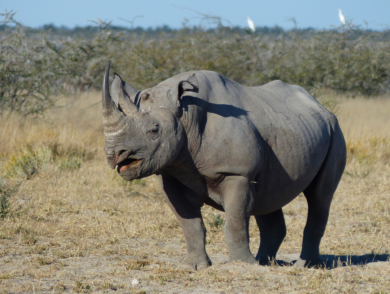 Black Rhino. He got up and walked around for us.