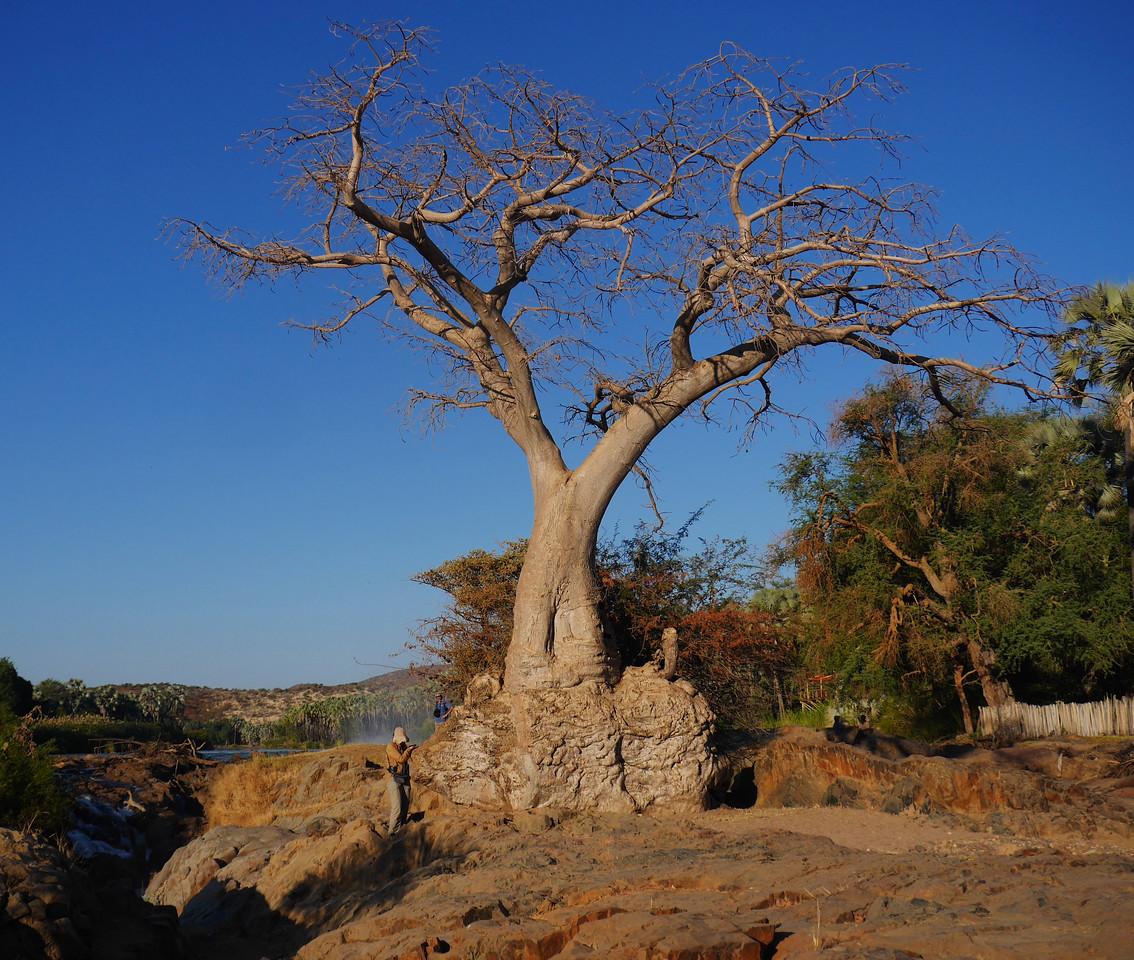 Baobab tree at Epupa Falls.