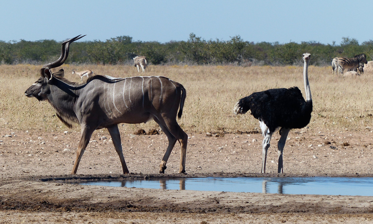 Kudu and Ostrich
