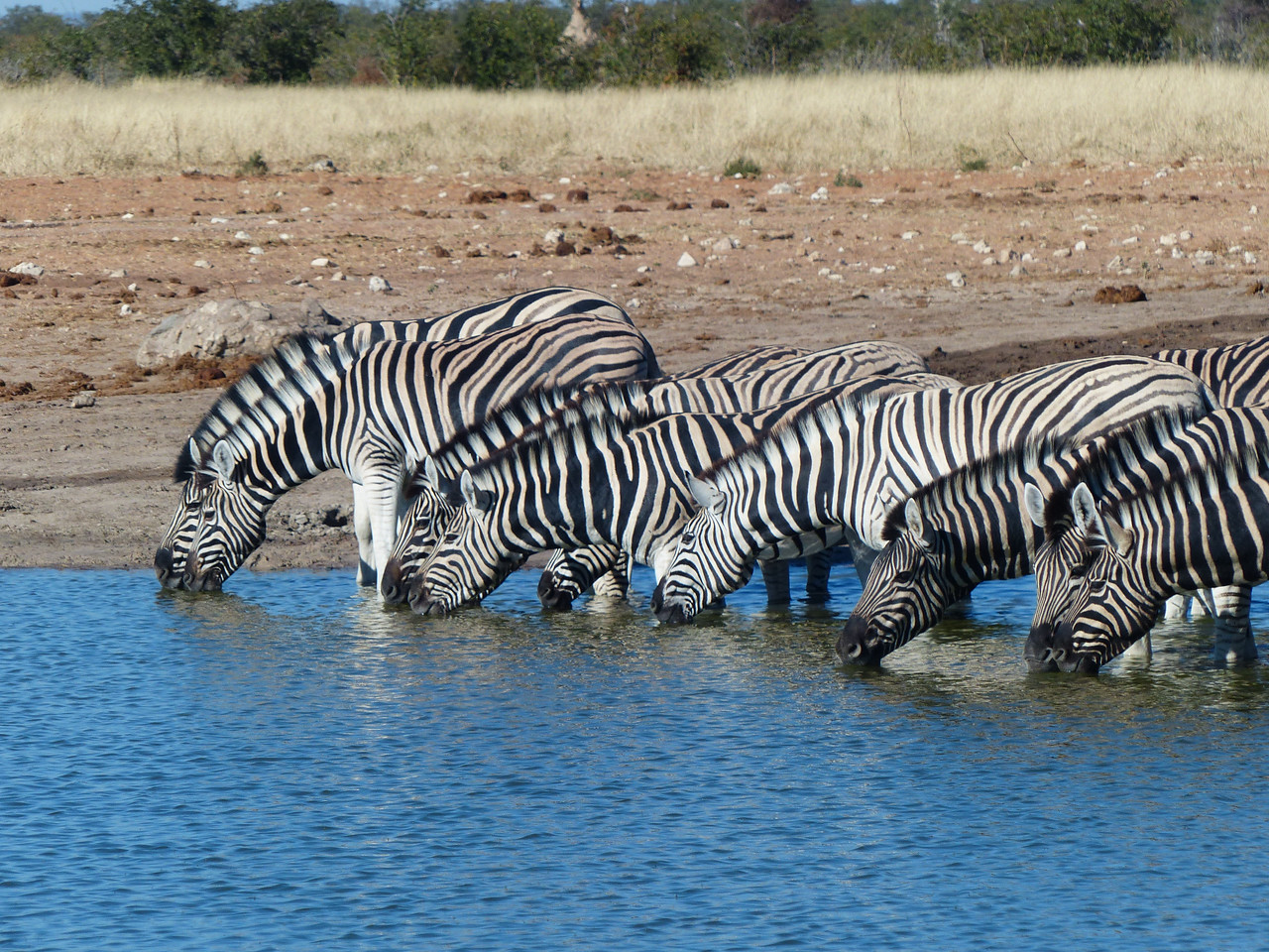 I like zebras