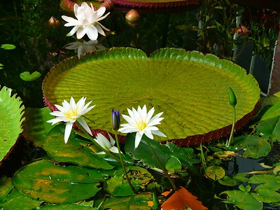Wintergarden,  in a huge park called the Domain, had spectacular lilly pads.