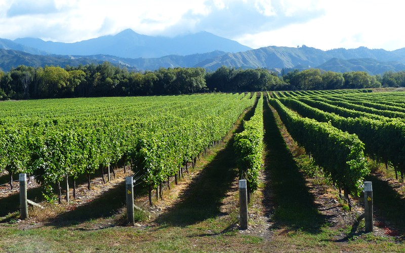 The Marlborough area on the South Island is known for its vineyards.