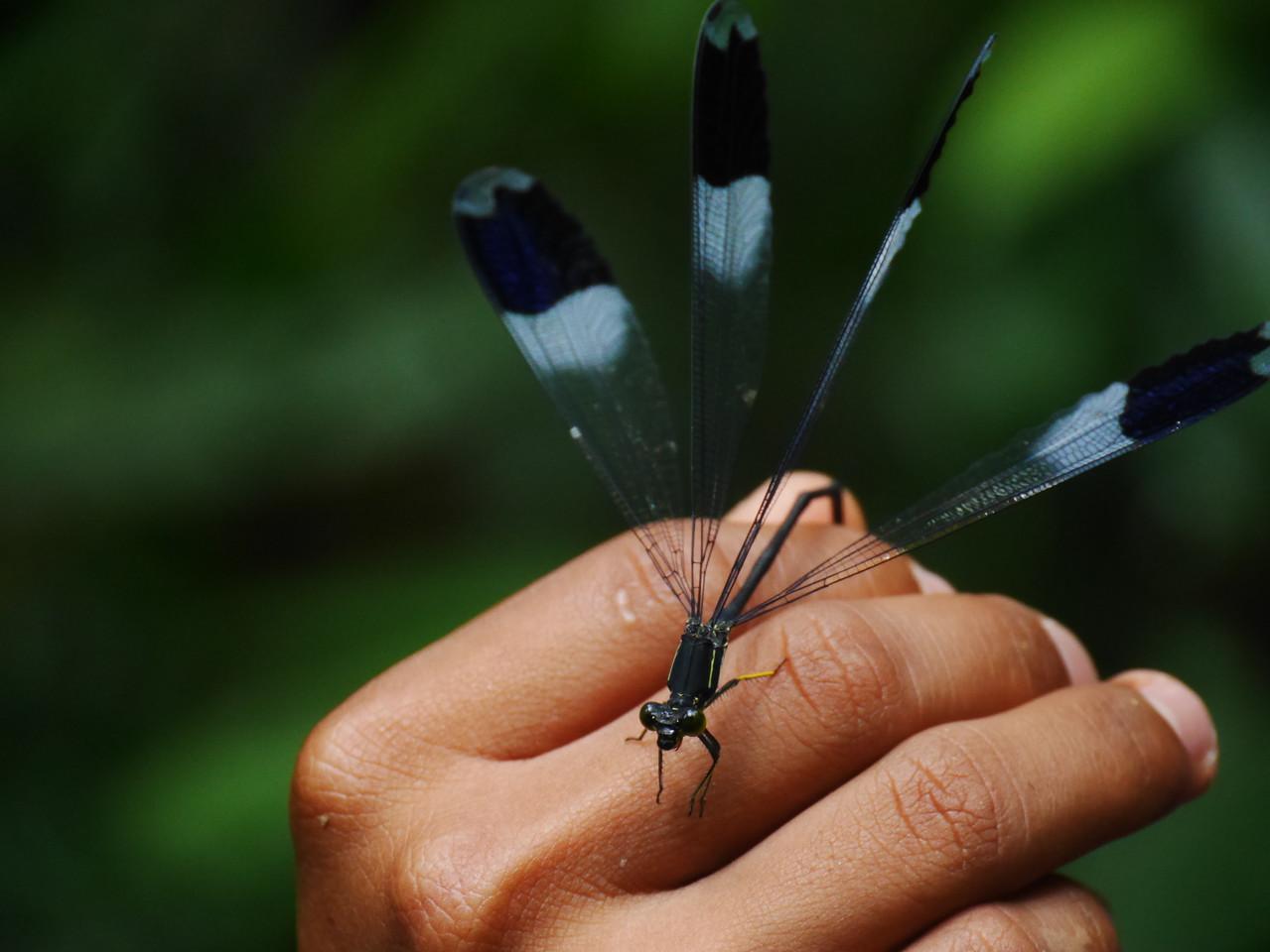 Soposo - Dragonfly