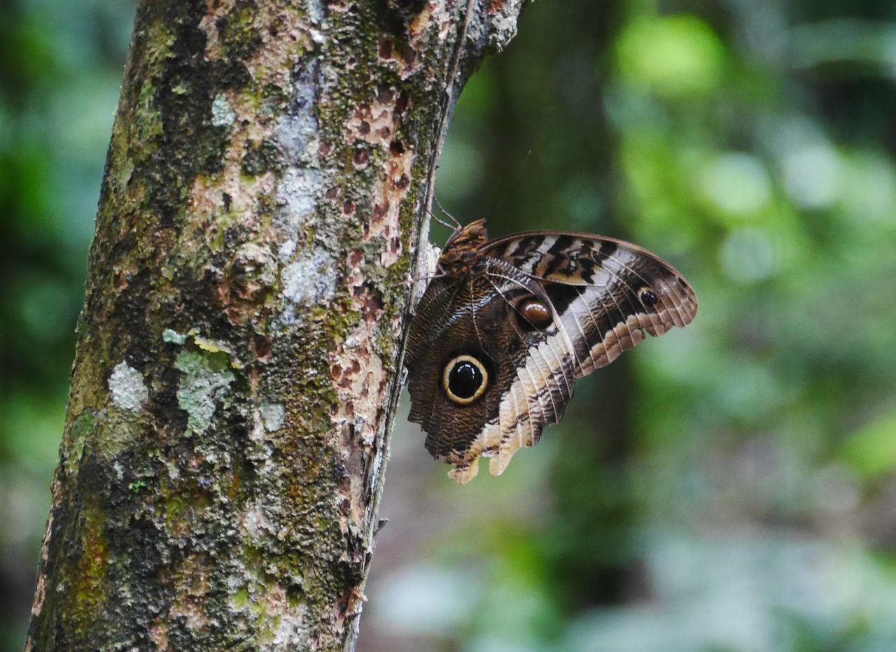 Soposo - Owl moth