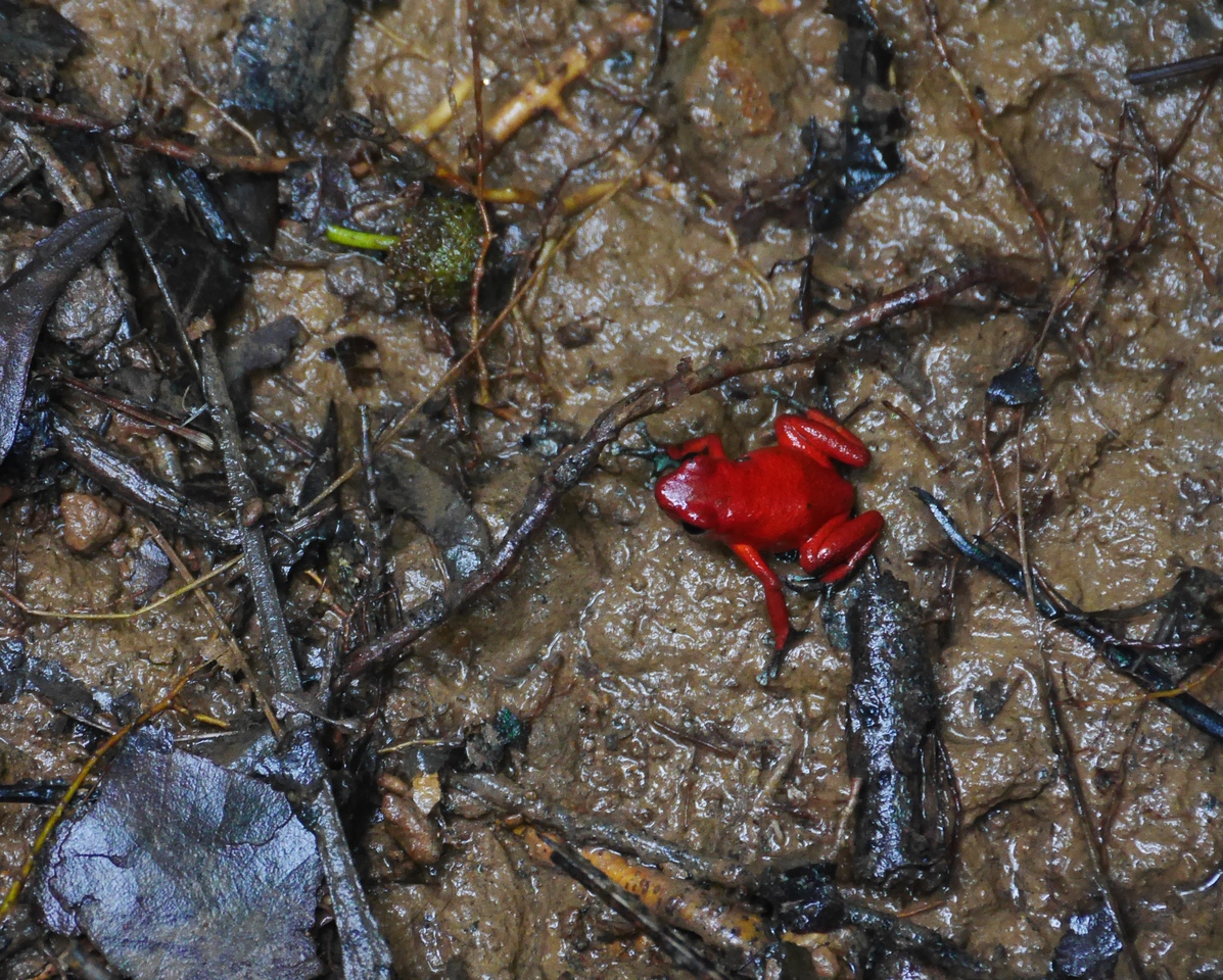 Soposo - a  red poison dart frog. We saw a bunch of them.
