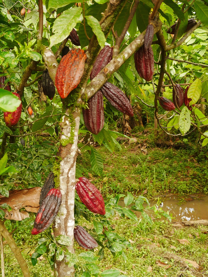 Soposo - Pods on a coco tree. The source of chocolate.