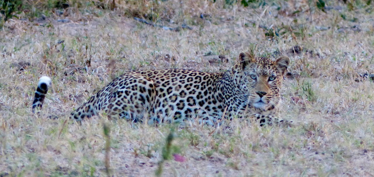 Leopards are hard to see. We were lucky and saw one on our very first morning.