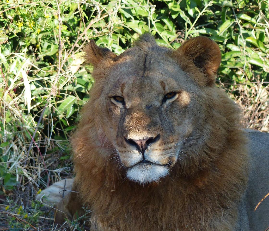 Lion - very close.