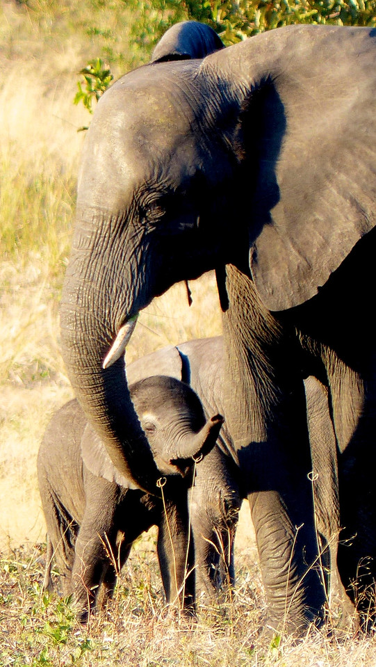 Chobe NP is known for having many elephants. We saw hundreds them.