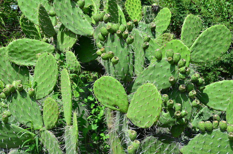 Cactus plant. Actually ate some at a local restaurant and it was very good.