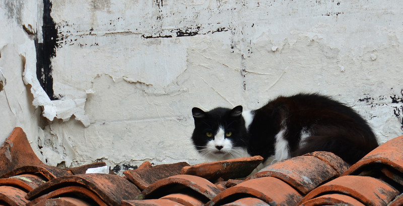 Cat on a clay roof