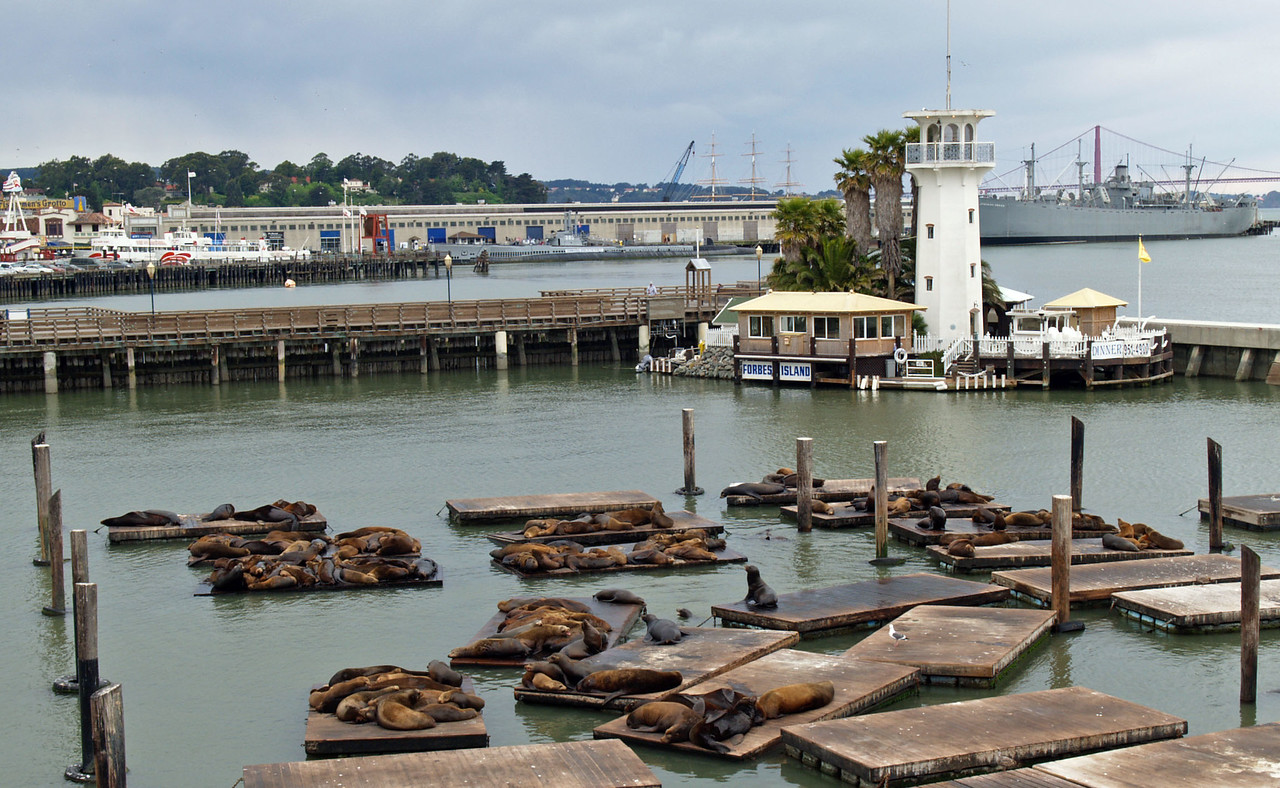 Seals with Floating Restaurant in Background Pier 39