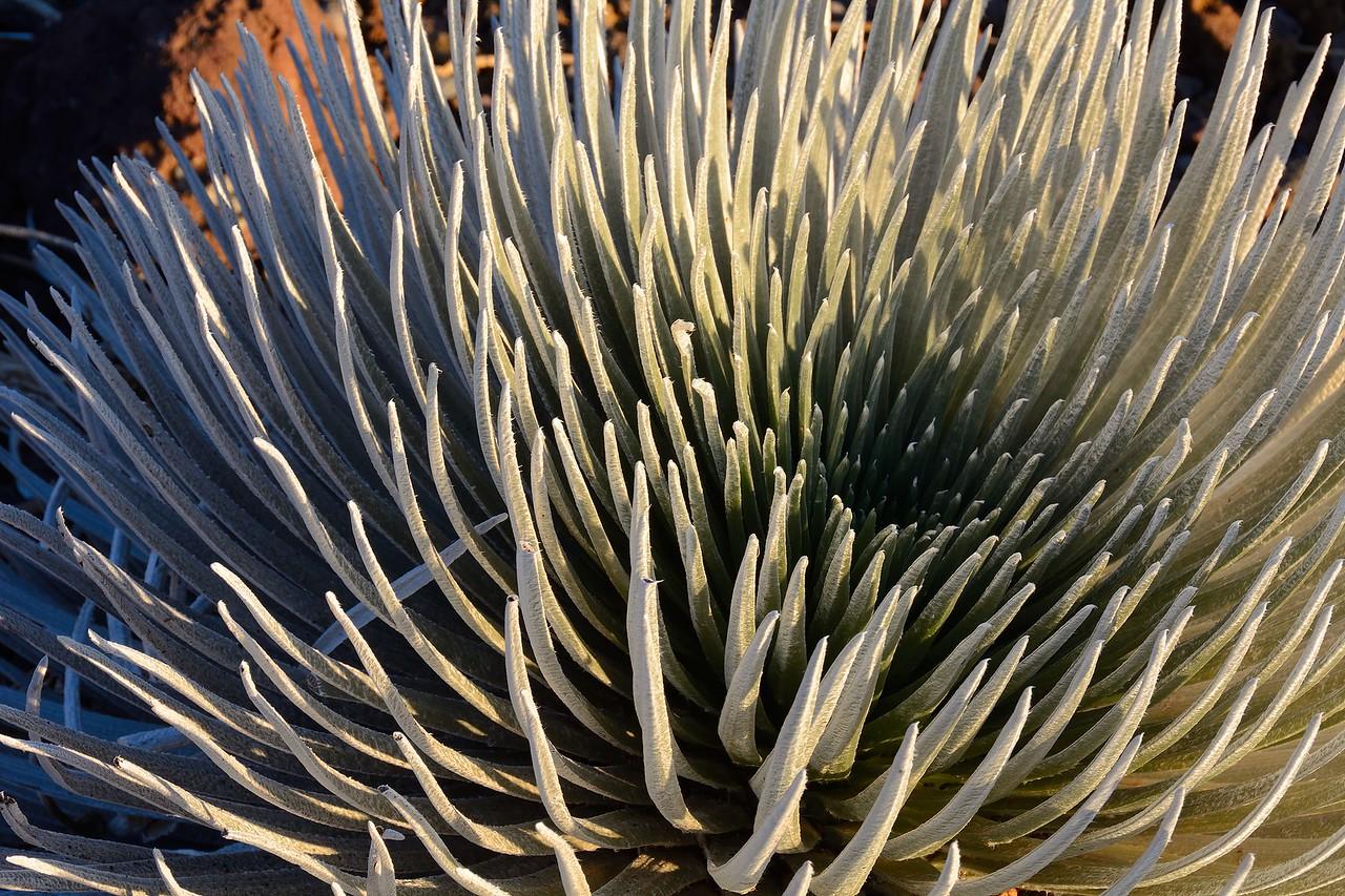 Haleakalā Silversword