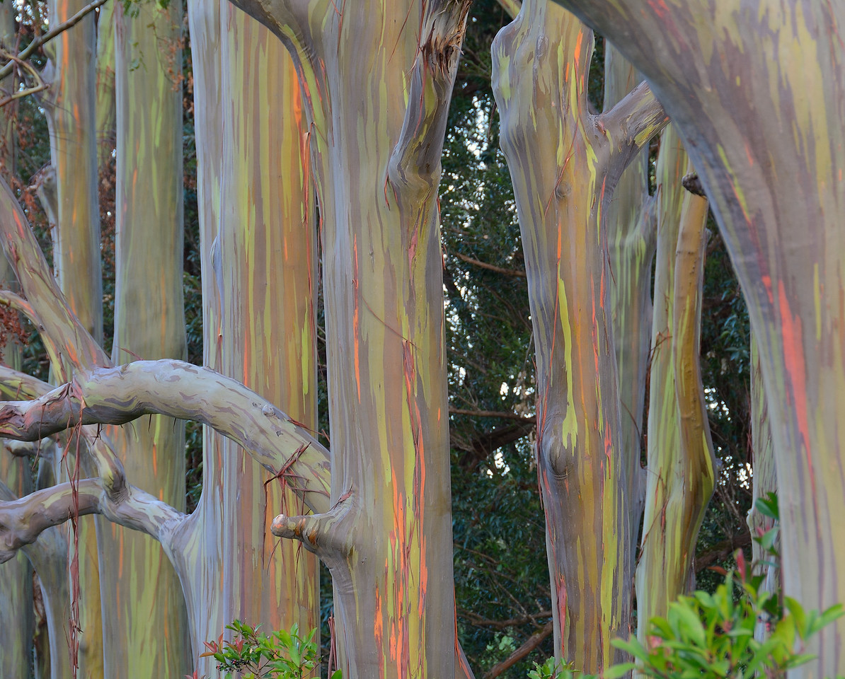 Rainbow Eucalytus Trees