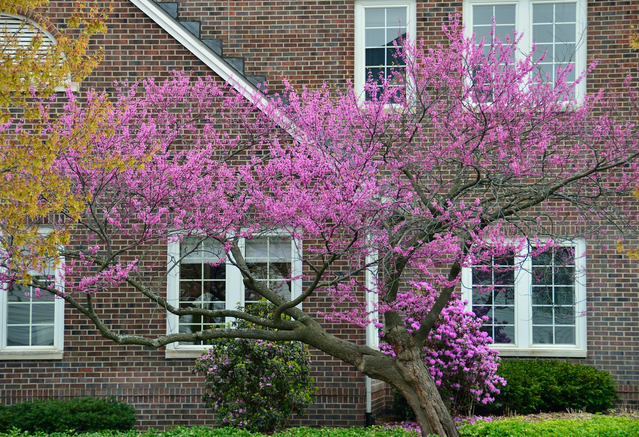 Redbud in all it's glory outside the Bekkering Admissions Office on the campus of Hope College.