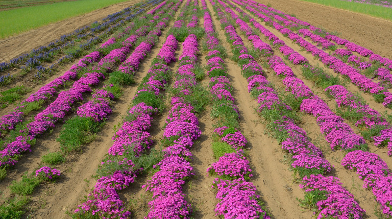 Field of Creeping Phlox