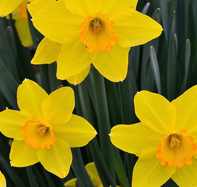 Daffodils at Veldheer tulip farm.