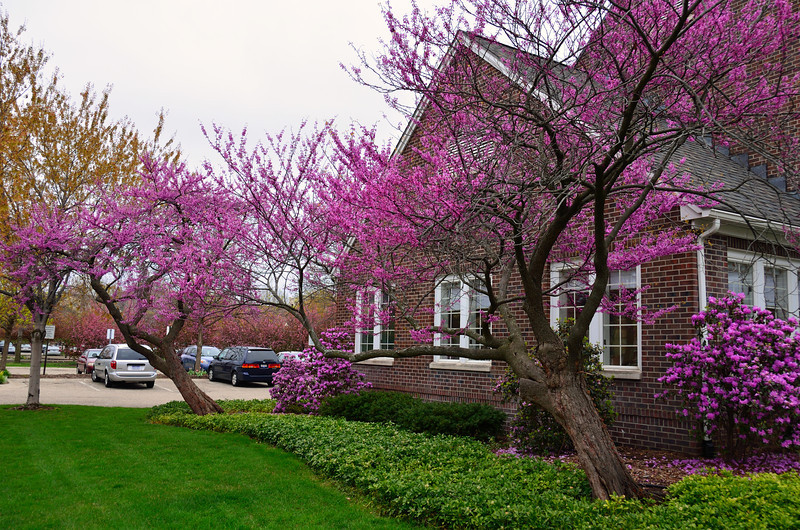 Redbud trees and azaleas in full bloom.