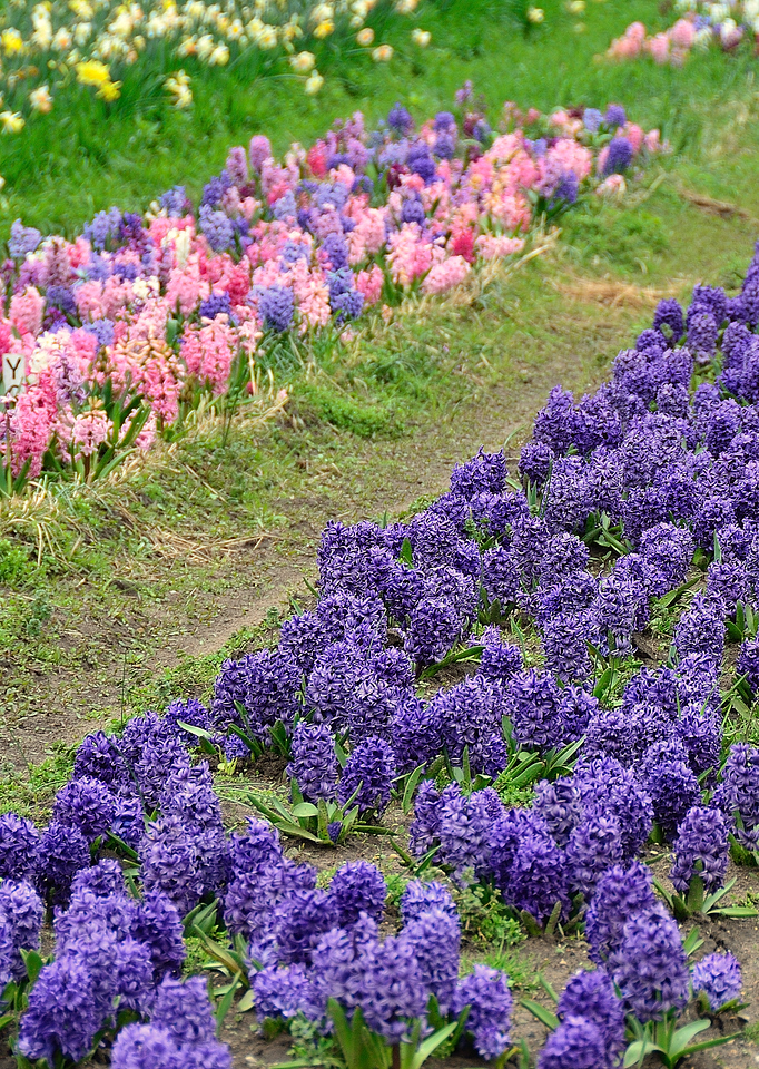 The smell of spring from these hyacinths at Veldheer tulip farm.