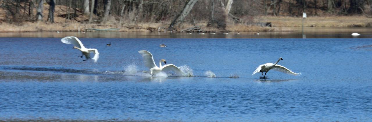 Swan Wars