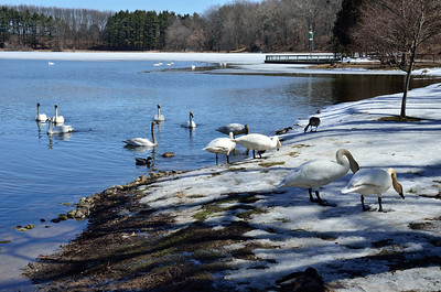 Swans gathering on the shore of Wintergreen Lake