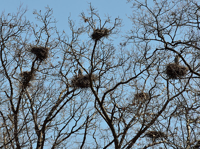 Blue Heron Roosts