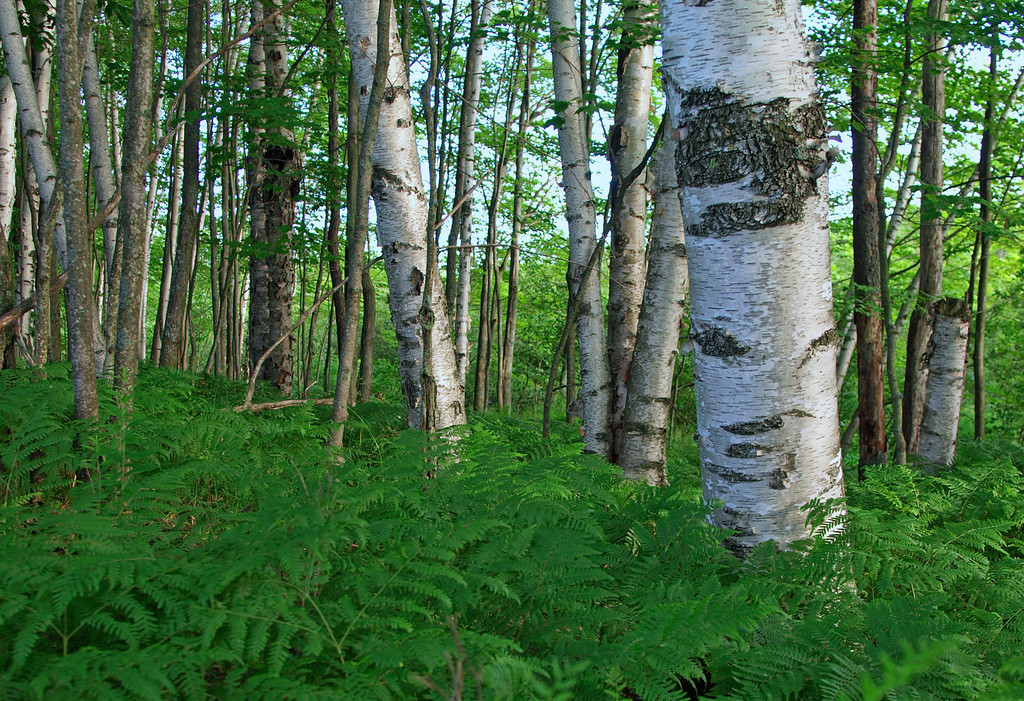 Birch and Fern