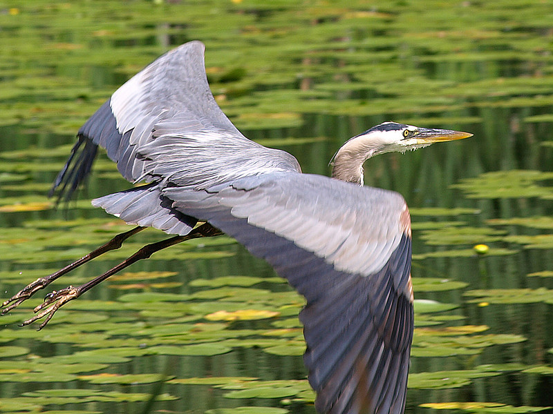 Blue Heron taking flight