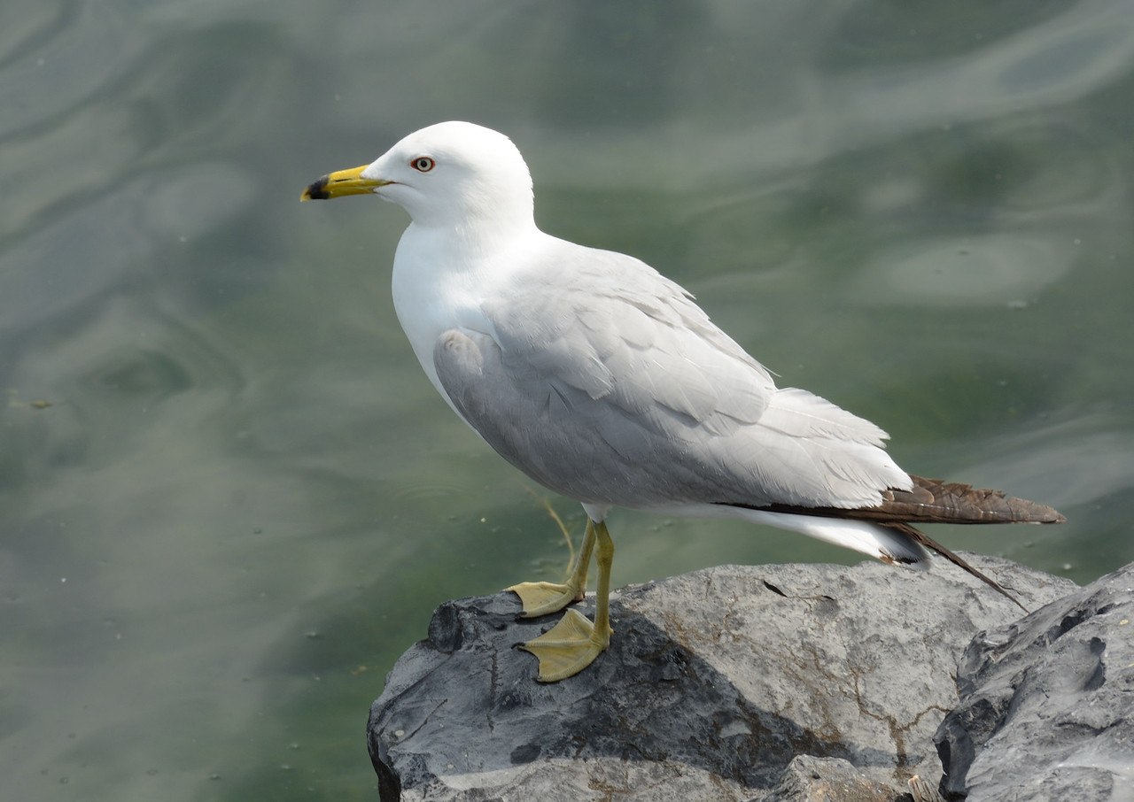 Gull waiting its turn to fish
