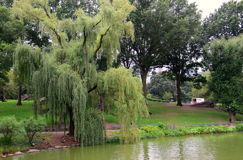 Willow in Central Park