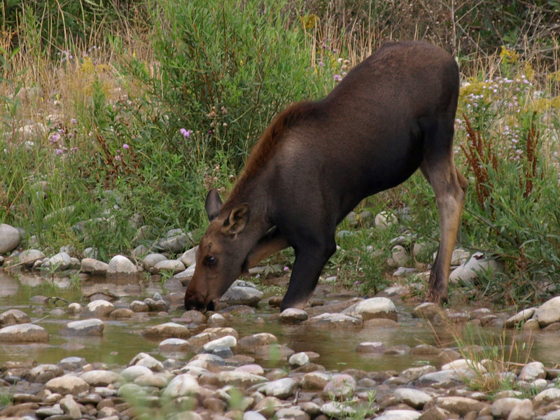 Young Moose Calf Drinking from Stream