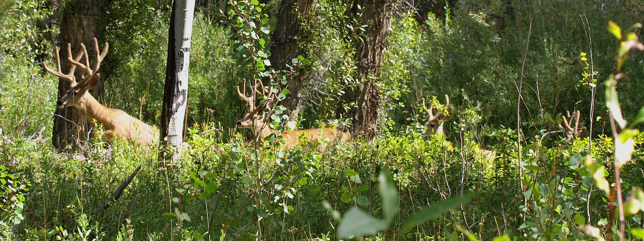 Mule Deer Bucks - Follow the Leader