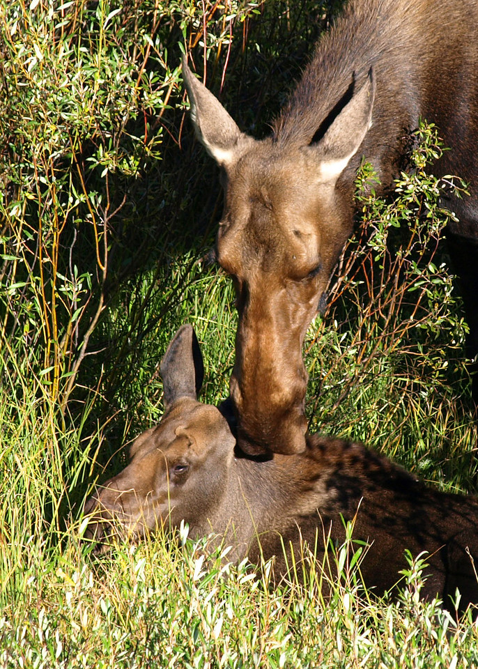 Mother Moose Caring for Young Calf